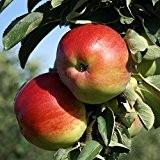 1a-plant Finn(R) Säulenapfel saftig süß und ein sehr großer Apfel, ca 80-100 cm Unterlage: M26