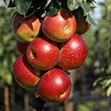 1a-plant Peke®, saftig süßer Säulenapfel mit angenehmer Säure, ca 60-80 cm Unterlage: M 7