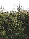 Weihnachtsbaum Samen.Tannen Samen Toller Garten