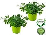 """2er Set Jiaogulan Pflanzen Gynostemma pentaphyllum """"vegetativ durch Steckling vermehrt"""" Kraut der Unsterblichkeit !"""