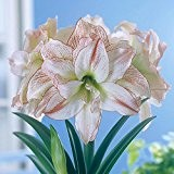 Amaryllis Aphrodite - 1 blumenzwiebel