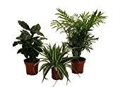 Amazon.de Pflanzenservice 890903 Indoor-Trio, Kaffee-Pflanze, Grünlilie und Zimmerpalme