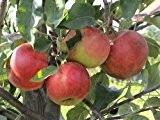 Apfel Elstar Viertelstamm wurzelnackt, 90 cm Stammhöhe inkl. Pflanzschnitt