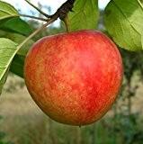 Apfelbaum, Cox Orange, Säulenobst, Kernobst, Apfel gelb, 80 - 100 cm, im Kübel, mit Dünger, Malus domestica, Obstbaum winterhart, EVRGREEN