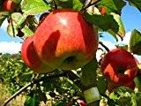 Apfelbaum, James Grieve, Halbstamm, Kernobst, Apfel grün, ca. 175 cm, im Topf, mit Dünger, Malus domestica, Obstbaum winterhart, EVRGREEN
