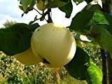 Apfelbaum, Klarapfel, Busch-Baum, Kernobst, Apfel gelb, 130 - 150 cm, im Kübel, mit Dünger, Malus domestica, Obstbaum winterfest, EVRGREEN
