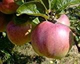 Apfelbaum, Ontario, Halbstamm, Kernobst, Apfel grün, ca. 175 cm, im Kübel, mit Dünger, Malus domestica, Obstbaum winterfest, EVRGREEN