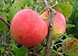 Apfelbaum, Pinova, Halbstamm, Kernobst, Apfel orange rot, ca. 175 cm, im Kübel, mit Dünger, Malus domestica, Obstbaum winterfest, EVRGREEN