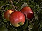 Apfelbaum, Reglindis, Halbstamm, Kernobst, Apfel rot, ca. 175 cm, im Kübel, mit Dünger, Malus domestica, Obstbaum winterhart, EVRGREEN