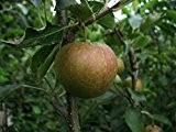 Apfelbaum, Rubinette Rosso, Halbstamm, Kernobst, Apfel rot, ca. 175 cm, im Topf, mit Dünger, Malus domestica, Obstbaum winterhart, EVRGREEN