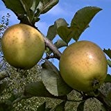Apfelbaum, Sir Prize, Halbstamm, Kernobst, Apfel gelb, ca. 175 cm, im Topf, mit Dünger, Malus domestica, Obstbaum winterhart, EVRGREEN