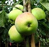 Apfelbaum, Zuccalmaglio, Halbstamm, Kernobst, Apfel rot, ca. 175 cm, im Kübel, mit Dünger, Malus domestica, Obstbaum winterhart, EVRGREEN