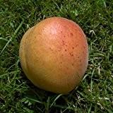 Aprikosenbaum Early Orange Sämling LH 120 - 150 cm, Aprikosen rot-orange, Busch, mittelstark wachsend, im Topf, Obstbaum winterhart, Prunus armeniaca