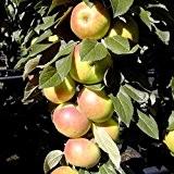 Arbat ®, Säulenapfel robuster schorfresistenter Apfel 60-80 cm im 4 Liter Topf, Unterlage M7
