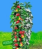 BALDUR-Garten Säulen-Apfel 'Red River®', Apfelbaum 1 Pflanze Malus domestica