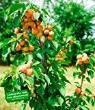 "BALDUR-Garten Säulen-Aprikose ""Armi Col®"",1 Pflanze Aprikosenbaum Prunus armeniaca"