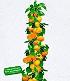BALDUR-Garten Säulen-Aprikosen, Aprikosenbaum 1 Pflanze, Prunus armeniaca