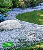 BALDUR-Garten Winterharter Bodendecker Isotoma 'Blue Foot', 3 Pflanzen