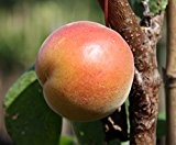Bhart Orangenaprikose, Halbstamm für den Garten, Prunus armeniaca, Aprikosenbaum winterhart, Orangenaprikose orange , im Kübel, 40 - 60 cm