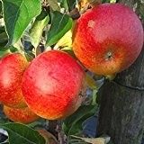 Cox Orange, Winterapfel Hochstamm mit 180 cm Stamm, wurzelnackter Apfelbaum