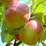 Danziger Kant Winterapfel als Hochstamm ca. 180 cm Stamm wurzelnackter Apfelbaum