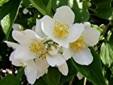 echter jasmin pflanze