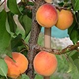 Early Orange, saftig süße Aprikose beliebte zuverlässige Sorte ca. 120-150 cm, Unterlage: Sämling