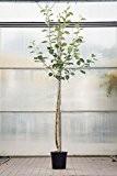 Einen Apfelbaum Elstar pflanzen - Geschenke zum Richtfest oder Geschenkideen zum Einzug ins neue Haus