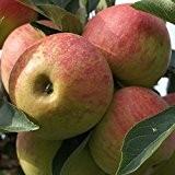 Elstar, beliebter Winterapfel Buschbaum aromatisch ca.120-150 cm 10 Liter Topf, schwachwachsend: M26