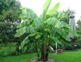 Frostharte Banane Musa basjoo grün 40-60 cm. Enormer Wuchs innerhalb weniger Jahre bis auf 3 Meter Höhe