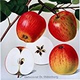 Geheimrat Oldenburg, Apfelbaum als Halbstamm, Kronenansatz in ca. 1,50 m Höhe, wurzelnackt, veredelt auf Bittenfelder Sämling, alte Obstsorte