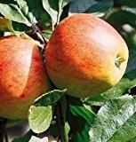 Gerlinde, Apfel, Buschbaum (kleinbleibend), 120-140cm, im Topf