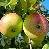 Goldrenette von Blenheim, Apfel Hochstamm, ca. 180 cm Stamm, wurzelnackter Apfelbaum