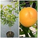 Goldrich, Zwergaprikose mit sehr großen Früchten als Buschbaum, ca. 100-120 cm, Unterlage INRA 2