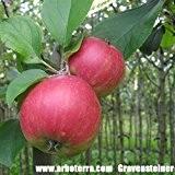 Gravensteiner, Apfelbaum als Halbstamm, Kronenansatz in ca. 1,50 m Höhe, wurzelnackt, veredelt auf Bittenfelder Sämling, alte Obstsorte