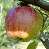 Gravensteiner, Herbstapfel saftig süß, duftend, Hochstamm, 180 cm Stamm, wurzelnackt, Sämling