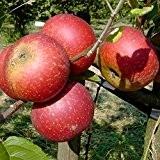 Ingrid Marie, roter Herbstapfel, Weihnachtsapfel Hochstamm, 180 cm Stamm, wurzelnackt, Sämling