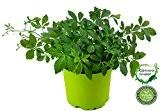 """Jiaogulan Pflanze Gynostemma pentaphyllum """"vegetativ durch Steckling vermehrt"""" Kraut der Unsterblichkeit !"""