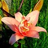 """Lilie - Lilium asiatic """" Aphrodite """""""