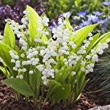 Maiglöckchen weiß - Convallaria majalis Pflanze winterfest als Wurzelware - Maieriesli pflegeleicht, robust, schöner Duft - 15 Wurzelstöcke vom Testsieger ...