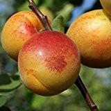 Mombacher, frühe sehr frostharte Aprikose süß saftig und gut steinlösend 120-150 cm, Unterlage: St.Julien A