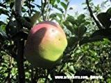 Ontario, Apfelbaum als Halbstamm, Kronenansatz in ca. 1,50 m Höhe, wurzelnackt, veredelt auf Bittenfelder Sämling, alte Obstsorte