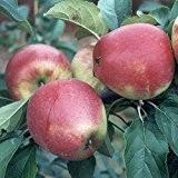 Retina (R), Sommerapfel Halbstamm robust ca. 150-170 cm wurzelnackter Apfelbaum