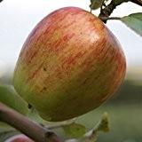 Rheinische Schafsnase, Apfel Hochstamm, ca. 180 cm Stamm wurzelnackter Apfelbaum