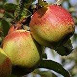 Rheinischer Bohnapfel, alte Kultursorte, Apfel Hochstamm ca 180 cm Stamm, wurzelnackter Apfelbaum