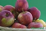 Rubinette Rosso, Herbstapfel, Buschbaum (kleinbleibend), 120-140cm, im Topf