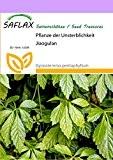 SAFLAX - Pflanze der Unsterblichkeit - 30 Samen - Gynostemma pentaphyllum