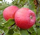 Santana®, allergikergeeignete Apfelsorte, Buschbaum (kleinbleibend), 120-140cm, im Topf
