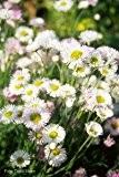 Spanisches Gänseblümchen 60 Samen, Blütenmeer, Erigeron karvinskianus