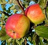 Teser, robuster süß-säuerlicher Herbstapfel Halbstamm ca. 150-170 cm wurzelnackt, Unterlage: Sämling